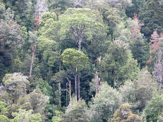 Gordon River: Primeval forest