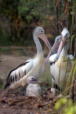 Berry Springs, Australia: Pelican Family