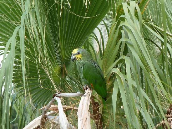Hotel Tigaiga: Im Garten kann man fast täglich kleine Schwärme von Papageien beobachten.