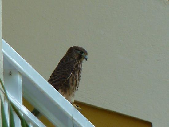 Hotel Tigaiga: Gelegentlich landet auch ein Greifvogel auf dem Balkon, um nach Nahrung (Echsen, Mäuse) Auschau