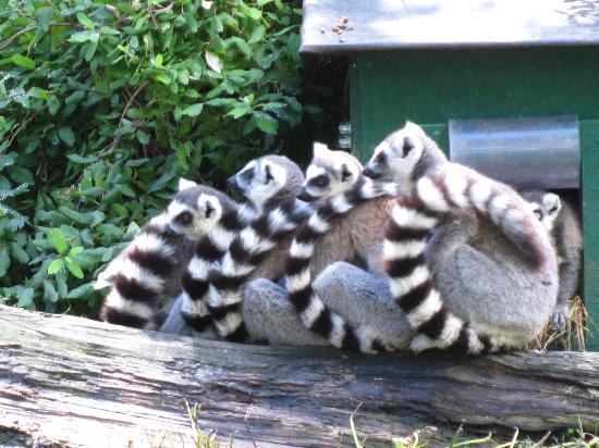 Greater Vancouver Zoo: Lemur hug