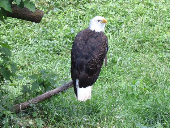 Greater Vancouver Zoo: Bald eagle
