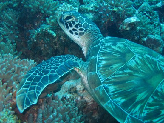Spanish Dancer Divers: Green Turtle