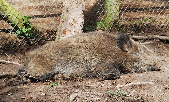 Fuerth, Tyskland: Wildschweingehege im Fürther Stadtwald