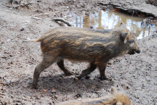 Wildschweingehege (Wild Pig Enclosure): Wildschweingehege im Fürther Stadtwald