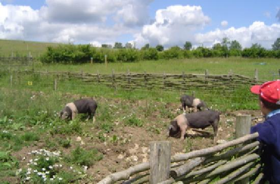 Butser Ancient Farm: Pigs grazing