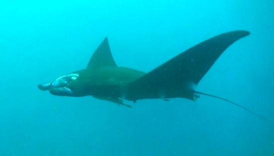 Matava - Fiji's Premier Eco Adventure Resort: Manta Ray-We had to beg to get to this site