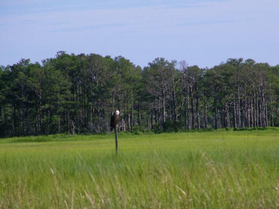 Chincoteague Cruises & Nature Tours: Bald Eagle