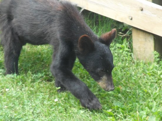 Gaspe, Kanada: A black bear during picnick