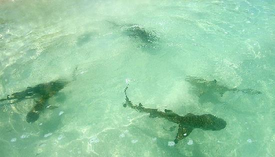 Navini Island Resort: baby sharks seen from beach
