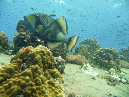 Scuba Junction: TitanTriggerfish