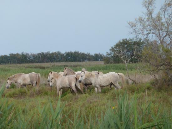 Camargue Nature Park: Pferde