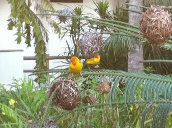 Turtle Bay Beach Club: weaver birds at the weavers nest bar.