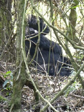 Bwindi Impenetrable National Park: Mwirima the silverback gorilla