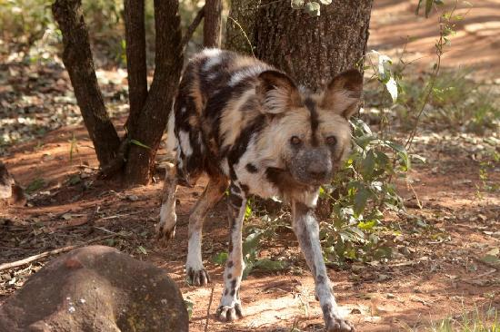 Ann van Dyk Cheetah Centre : Wild dog