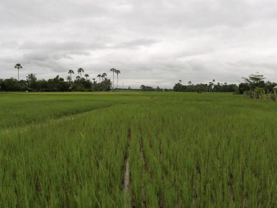 Takeo, Cambodia: Rice fields outside of the residence
