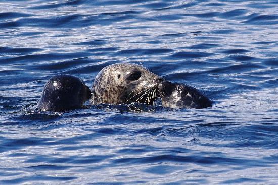 Argyll Charters - Mara Mhor Cruises: Mum seal and her baby!!