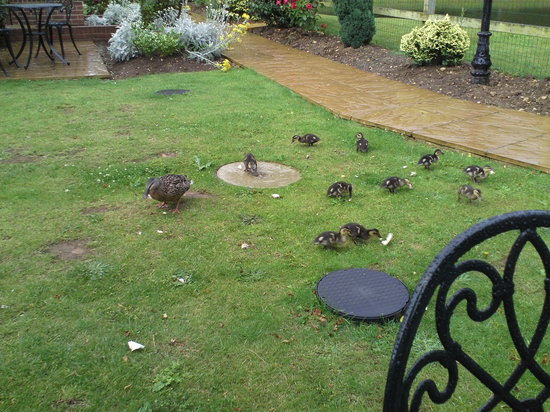 Rookley, UK: Mother duck and her 10 babies