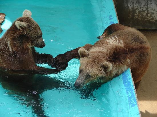 Black Forest Bear Park and Reptile Exhibit: Bears playing in pool