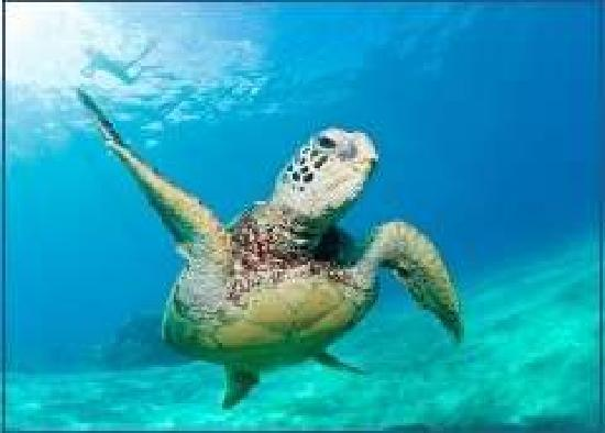 Rumbaba Charters : Come swim with the turtles!