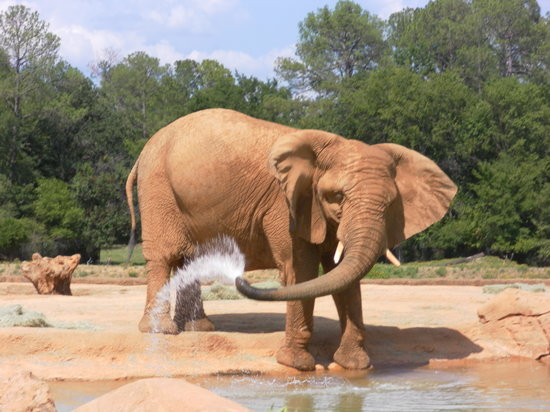 Tyler, TX: This elephant put on quite a water show.