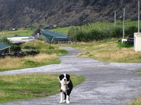 Tristan da Cunha: Border Collies help hunting rats on Ratting Day, held annually.