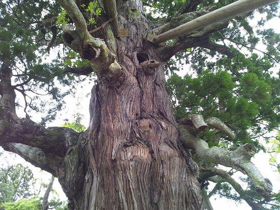 Okinoshima-cho, Ιαπωνία: 八百杉