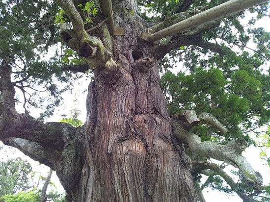 Okinoshima-cho, Япония: 八百杉