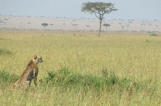 Governors' Balloon Safaris: the cheetah