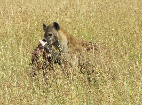 Governors' Balloon Safaris: hyena w/ a kill