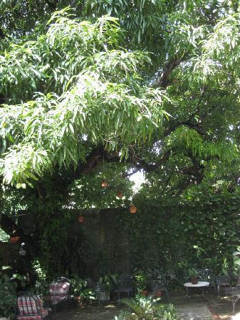 Hotel Alcaldeza: large mango tree