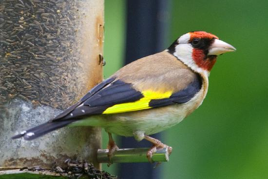 Fen House: Goldfinch feeding - a view from the breakfast room.