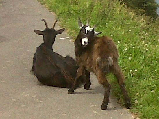 Hillside House: Goats on the footpath