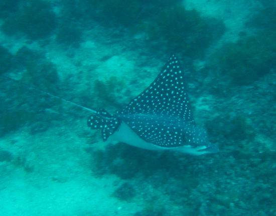 Rich Coast Diving: Sting Ray