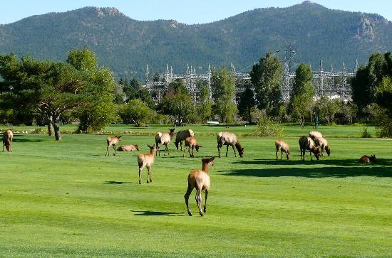 Discovery Lodge: Elk on the adjacent golf course.