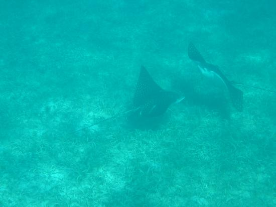 Gallows Point Resort: Saw four spotted eagle rays in front of Gallows Point, unforgettable