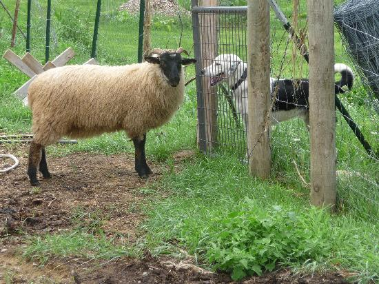 Brambleberry Bed & Breakfast : Lucky and a sheep