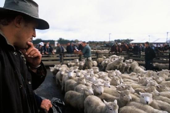 Feilding Saleyards Guided Tour : Checking out a live sheep auction