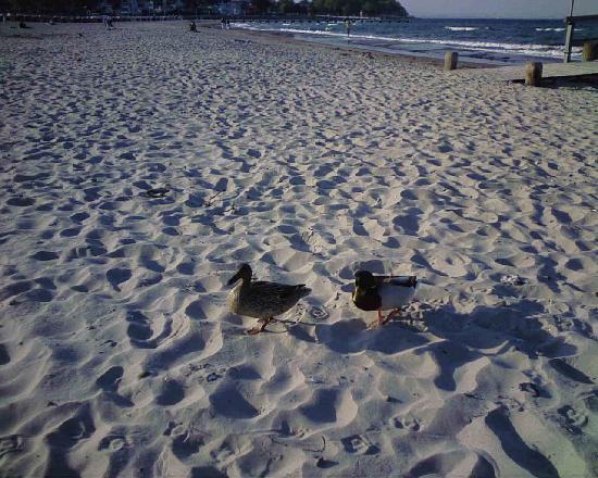 Travemunde: anatre sulla spiaggia