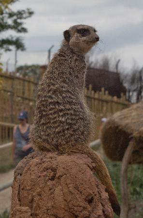 Bewdley, UK: Alert meerkat