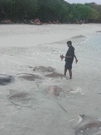 Reethi Beach Resort: fish feeding