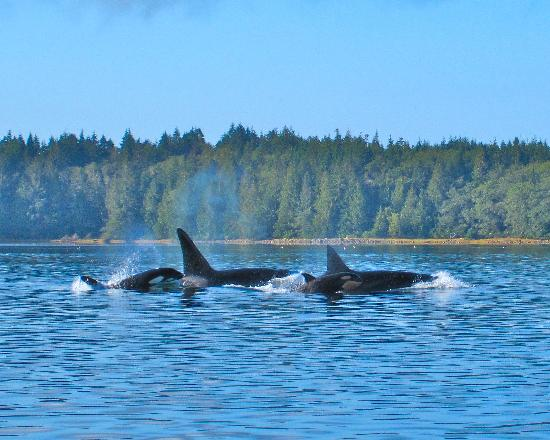 ‪‪Clayoquot Wilderness Resort‬: Orcas‬