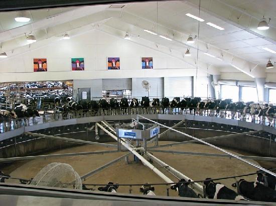Fair Oaks Farms: Cow Milking