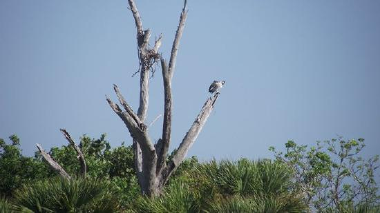 Cayo Costa State Park: osprey