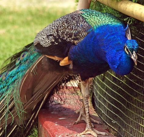 Palace of Gold: Peacocks roam freely