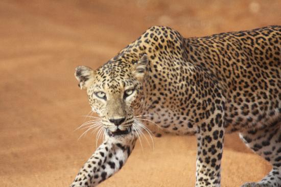Hotel Mermaid & Club: Yala National Park female leopard