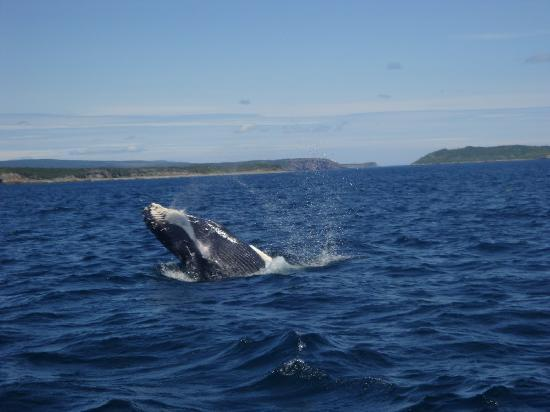 Colbert's Puffin and Whale Tours: Humpback calf playing
