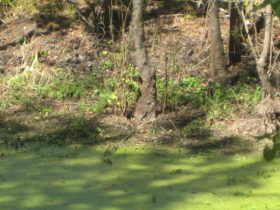 Needville, TX: Did I say Alligators eveywhere.
