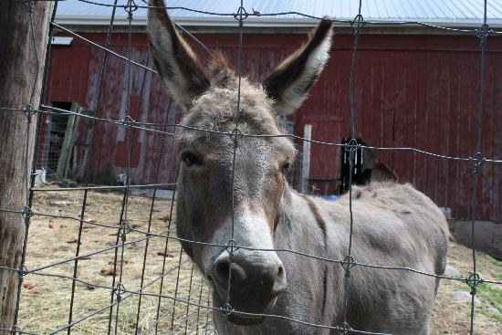 The donkey @ Whispering Orchards