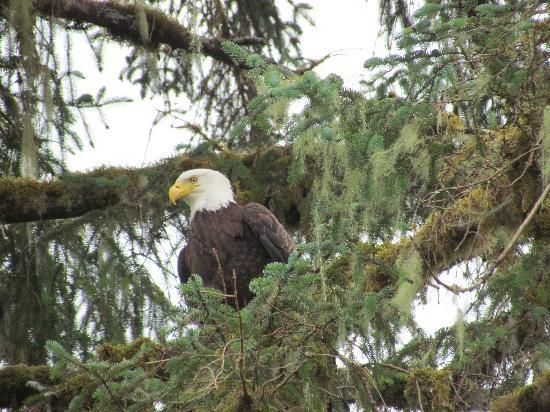 Dove Island Lodge: Plenty of Eagles